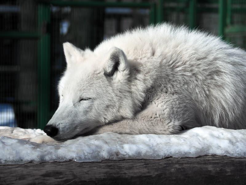 Witte wolfsslaap bij de sneeuw stock foto