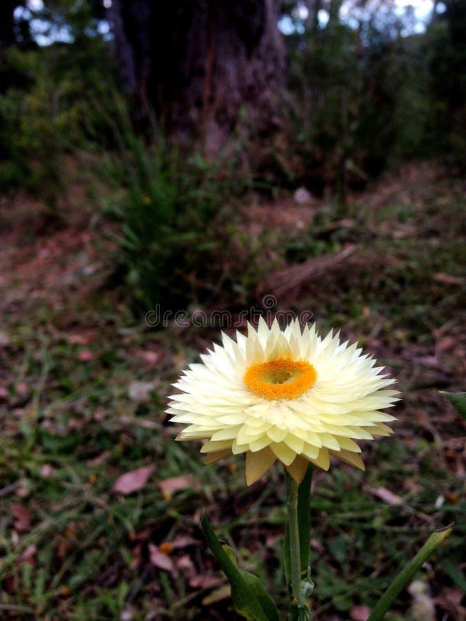 Witte Xerochrysum stock foto's