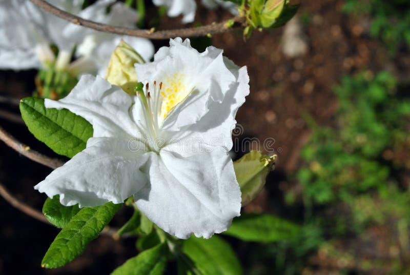 Witte, zacht gele pistil rhododendron bloemen, wazige groene bladeren royalty-vrije stock foto