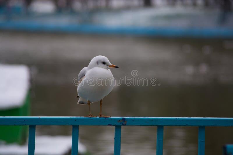 Witte zeemeeuw in de winter stock fotografie