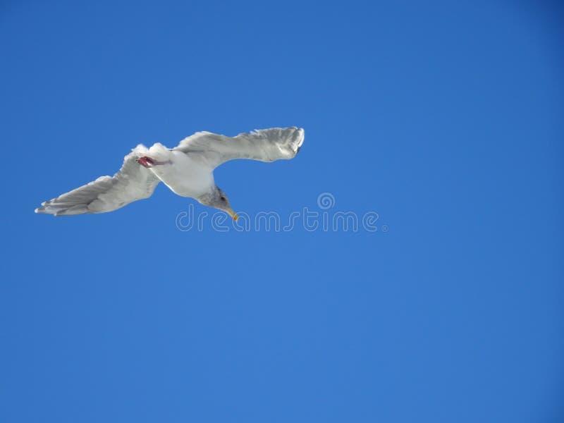 Witte zeemeeuw die over het overzees op de blauwe hemel in Vancouver, Canada vliegen stock afbeeldingen