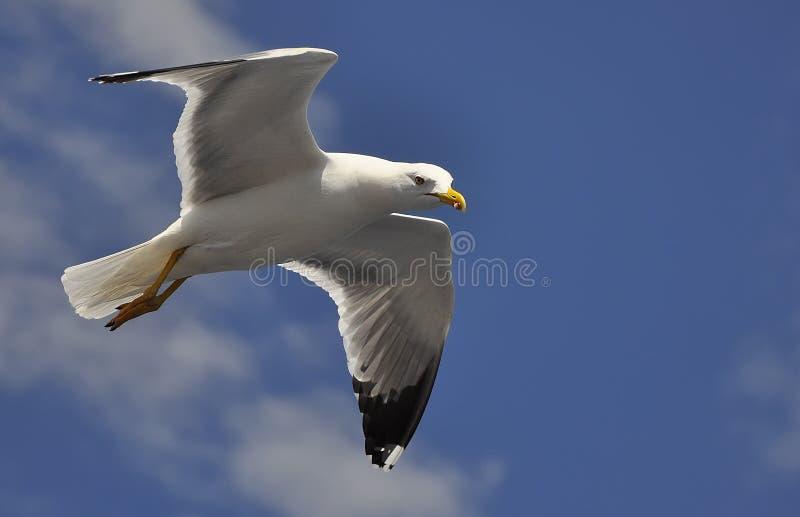 Witte zeemeeuw die tegen de blauwe hemel vliegen royalty-vrije stock afbeelding