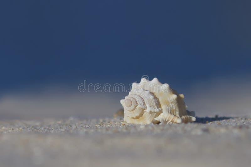 Witte zeeschelp op zand met blauwe achtergrond royalty-vrije stock foto