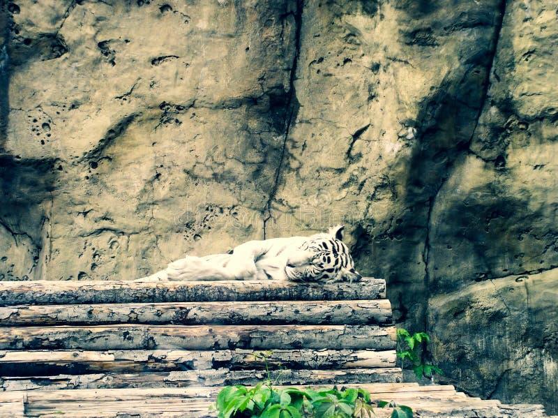 Witte zeldzame roofzuchtige tijgeralbino stock foto