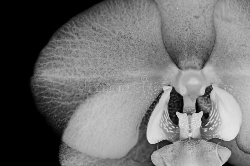 Witte zilveren orchideebloem op zwarte achtergrond royalty-vrije stock foto's