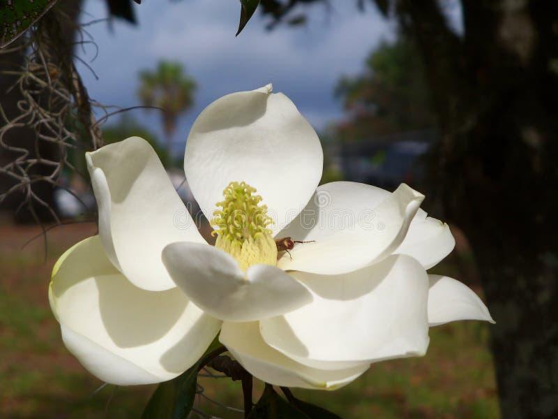 Witte Zuidelijke Magnoliabloem en een bij in de ochtendzon stock foto
