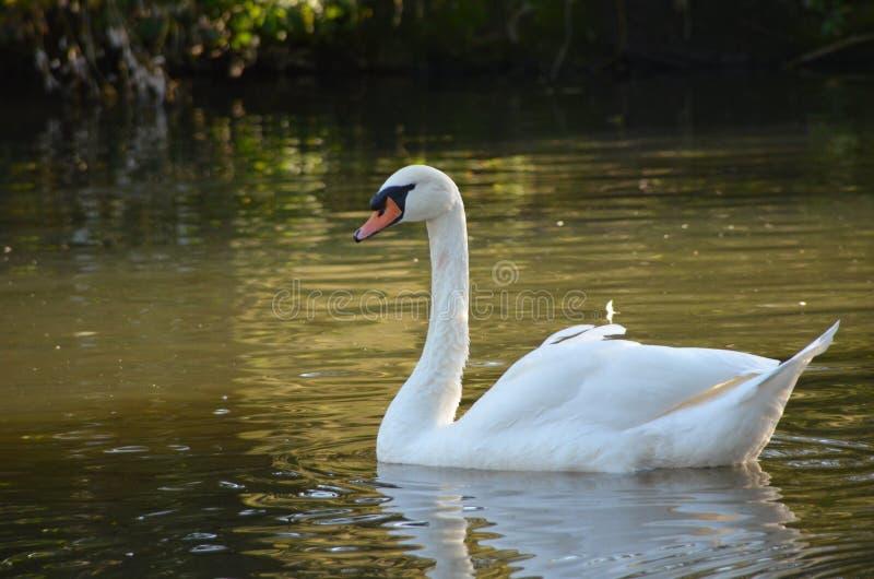 Witte zwaan Cygnini in water tijdens de herfst, bevallige vogel met witte veren in water dichtbij aan de kust royalty-vrije stock fotografie