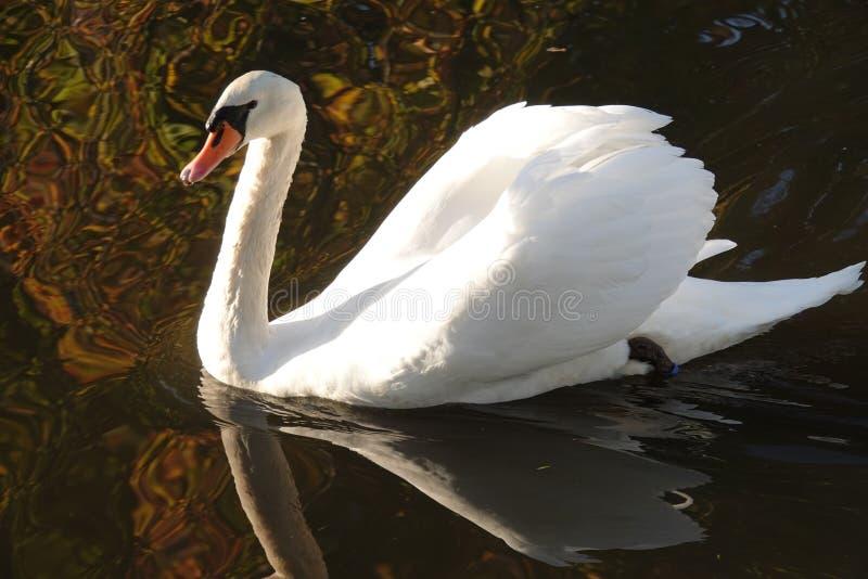 Witte zwaan in de herfst in Nederland stock fotografie