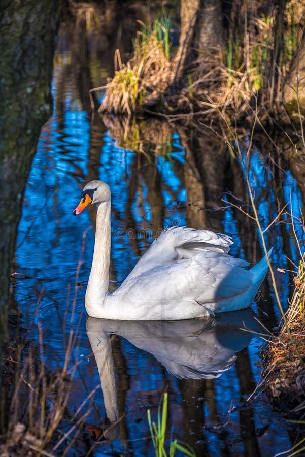 Witte zwaan in de vijver royalty-vrije stock afbeelding