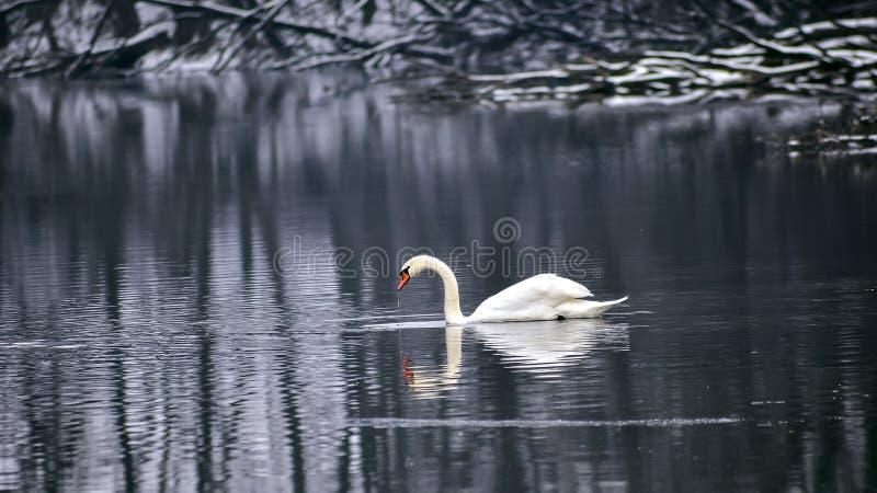 Witte Zwaan in de Wintermeer stock afbeeldingen