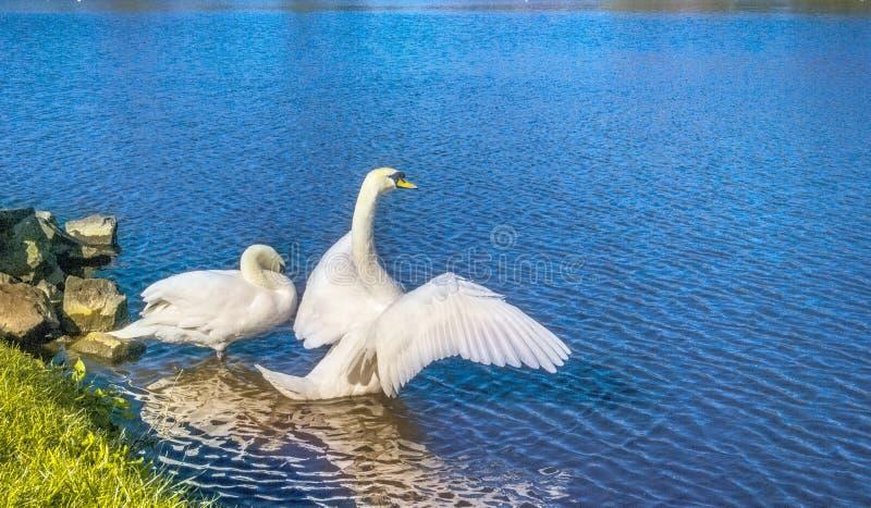 Witte Zwaan in de Zon van de de Zomerschoonheid royalty-vrije stock afbeelding