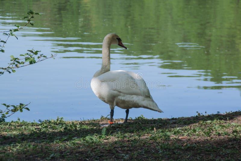 Witte zwaan dichtbij de landelijke die vijver door groen bomen en gras wordt omringd Zwaanclose-up stock afbeelding