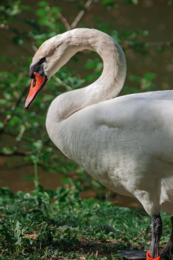 Witte zwaan dichtbij de landelijke die vijver door groen bomen en gras wordt omringd Zwaanclose-up stock foto