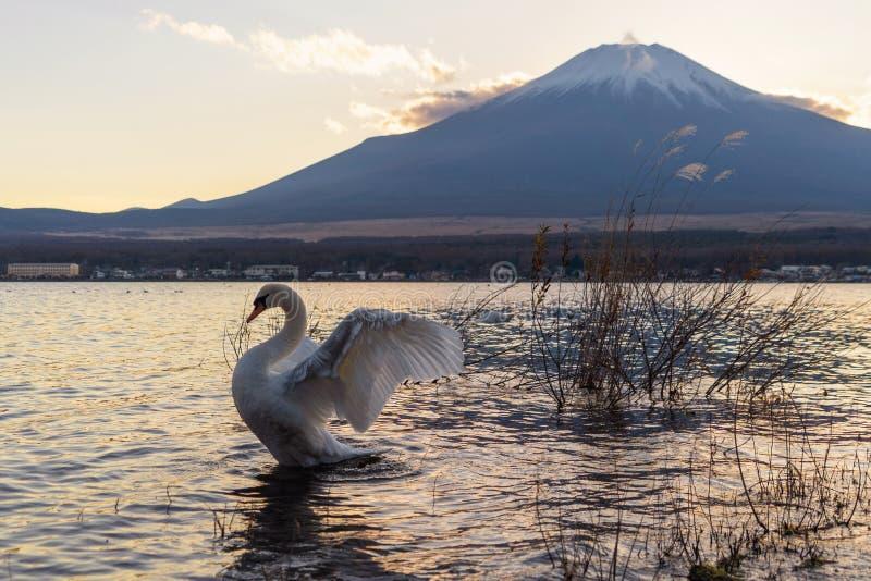 Witte zwaan die hun vleugels met bezinning van Fuji Mountai uitspreiden stock afbeelding