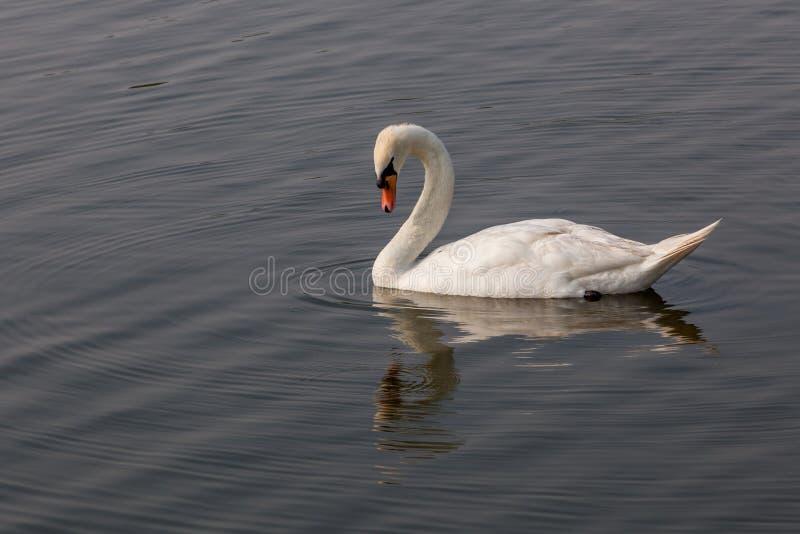Witte zwaan die neer aan Water kijken stock afbeeldingen