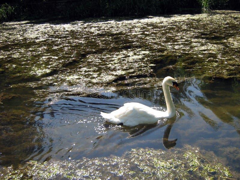 Witte zwaan die in Rivier Avon, Malmesbury, Engeland zwemmen royalty-vrije stock fotografie