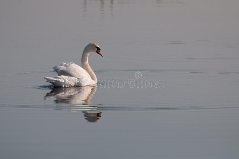 Witte zwaan die terug op de oppervlakte van het meer kijken royalty-vrije stock fotografie