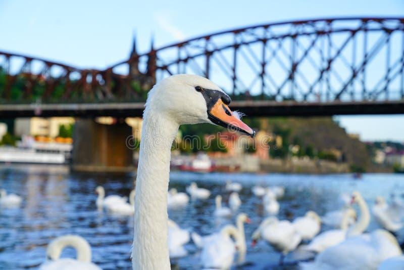 Witte zwaan die zich trots aan het westenkant van Vltava-Rivier bevinden stock afbeelding