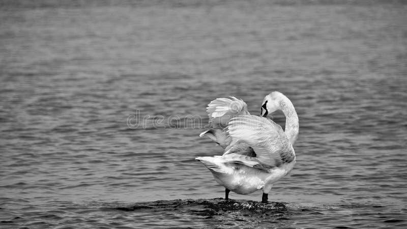 Witte Zwaan door de overzeese kust stock afbeelding