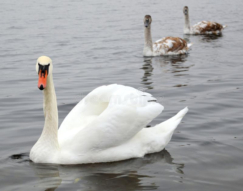 Witte zwaan en familie royalty-vrije stock afbeelding