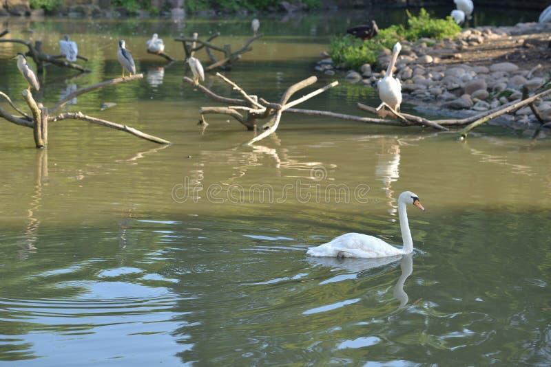 Witte zwaan en vogels in vijver royalty-vrije stock afbeelding