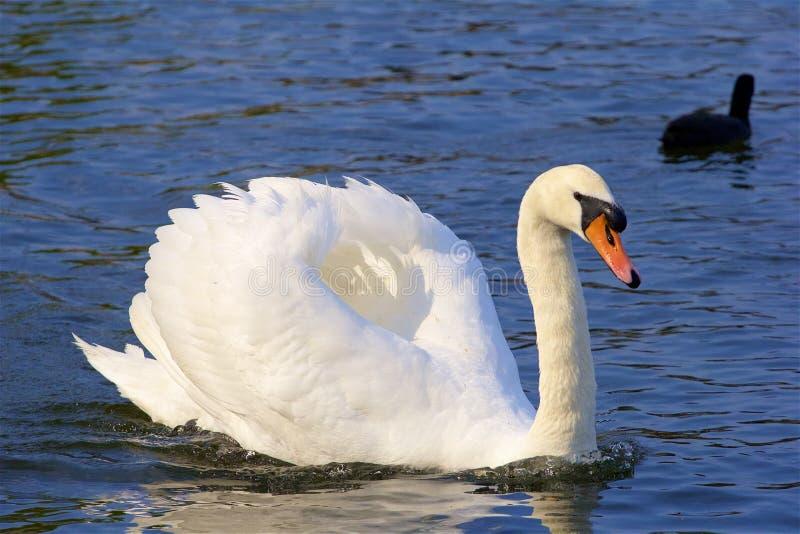 Witte zwaan stock fotografie