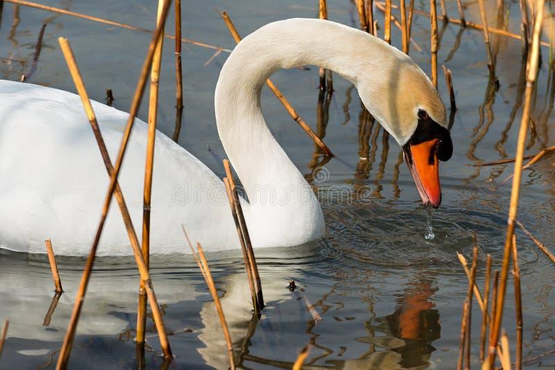 Witte Zwaan in het Riet stock fotografie