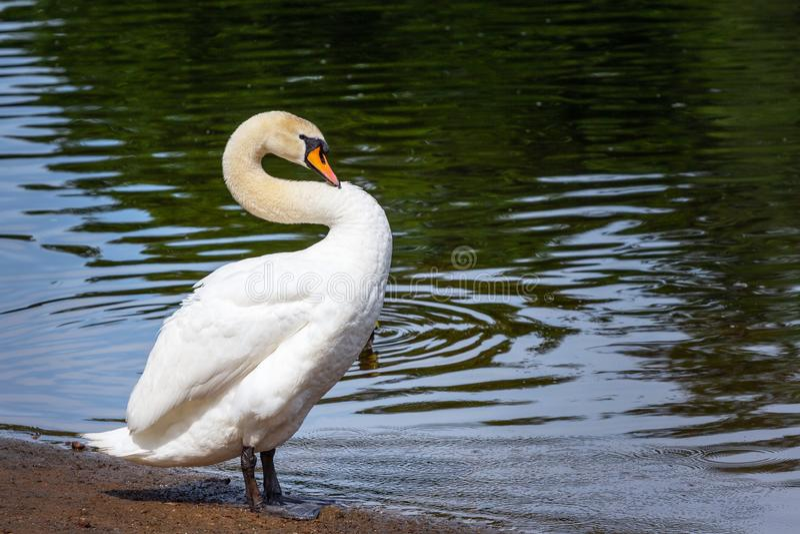 Witte zwaan op de kust van een vijver royalty-vrije stock foto's