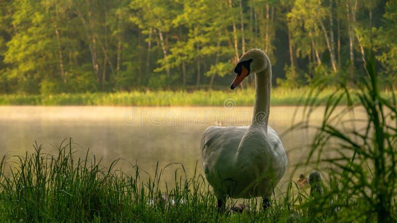 Witte zwaan op de kust van het meer royalty-vrije stock afbeeldingen
