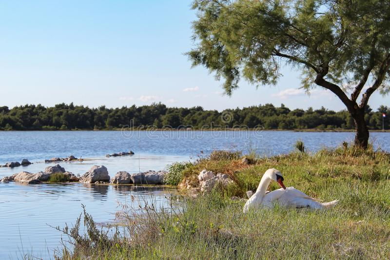 Witte zwaan op de meerkust royalty-vrije stock foto