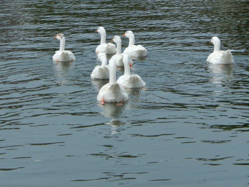 Witte zwaan op een vijver royalty-vrije stock afbeeldingen