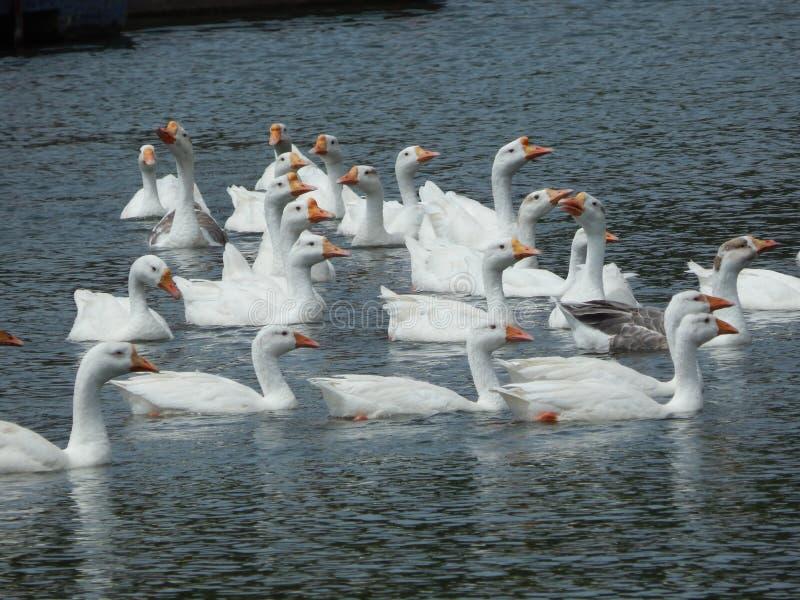 Witte zwaan op een vijver royalty-vrije stock afbeelding