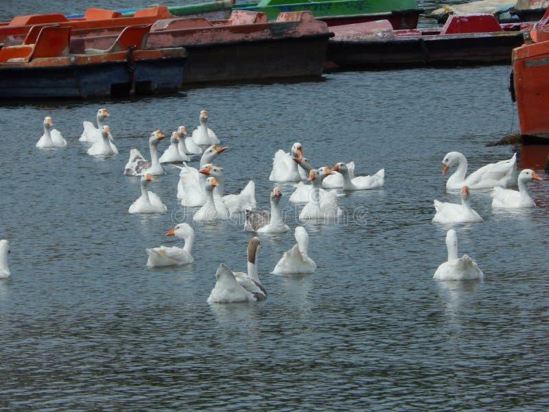 Witte zwaan op een vijver stock foto