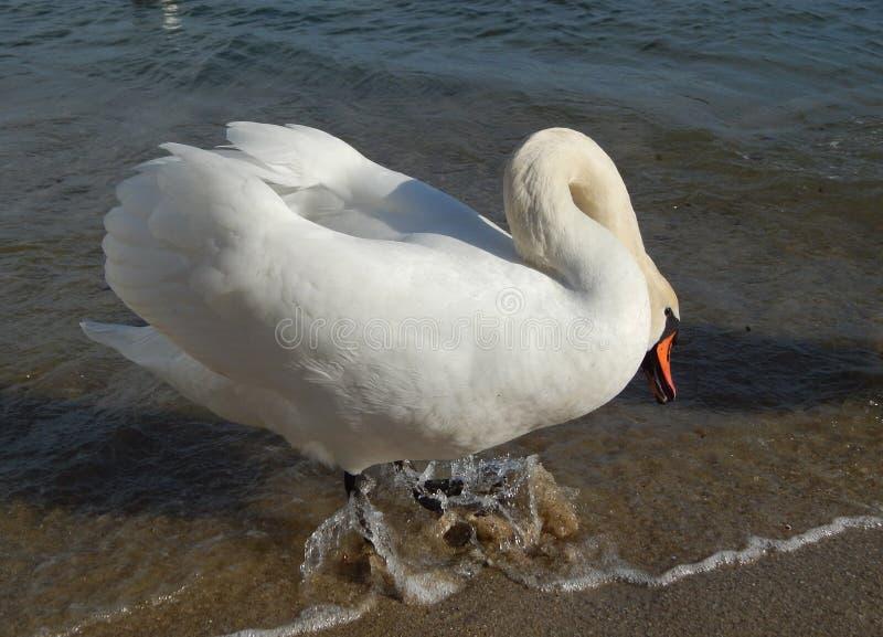 Witte zwaan op het strand stock fotografie