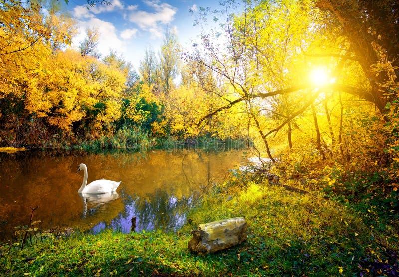 Witte Zwaan op meer royalty-vrije stock afbeelding