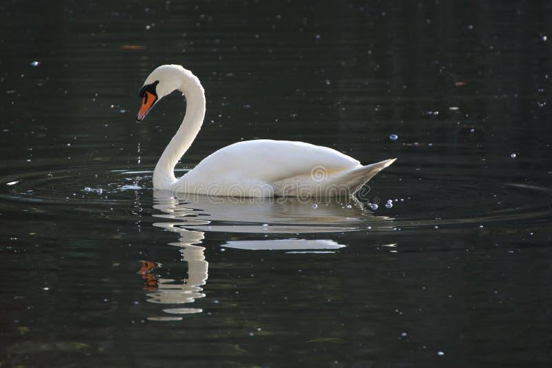 Witte zwaan op meer die en rimpelingen in het water voeden maken stock foto