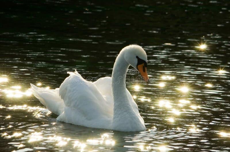 Witte zwaan op zwart water stock fotografie