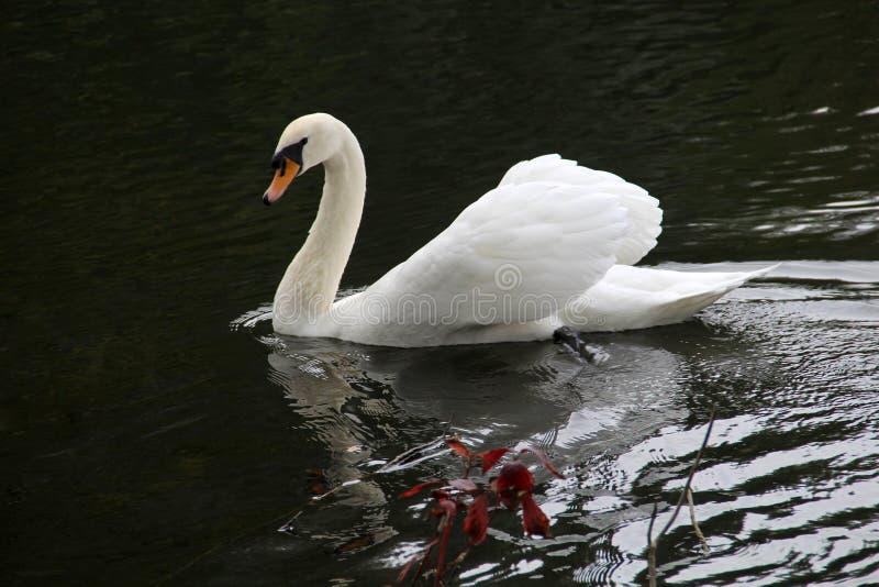 Witte zwaan twee royalty-vrije stock foto