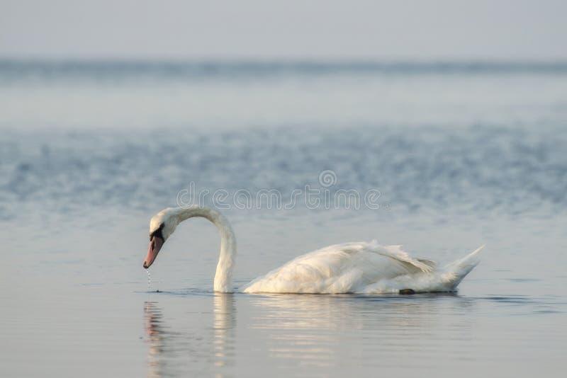 Witte zwaanvlotters op de rivier in de lente De zwanen zijn een symbool stock fotografie