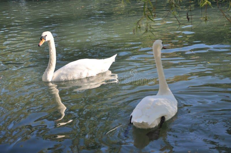 Witte zwanen stock afbeeldingen