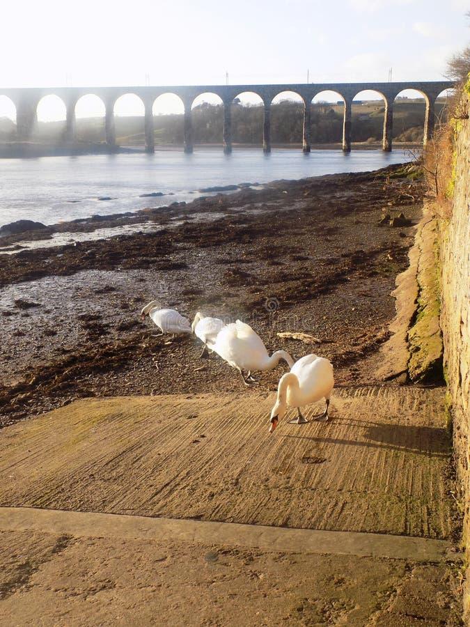 Witte zwanen in Berwick op tweed, Northumberland het UK royalty-vrije stock fotografie