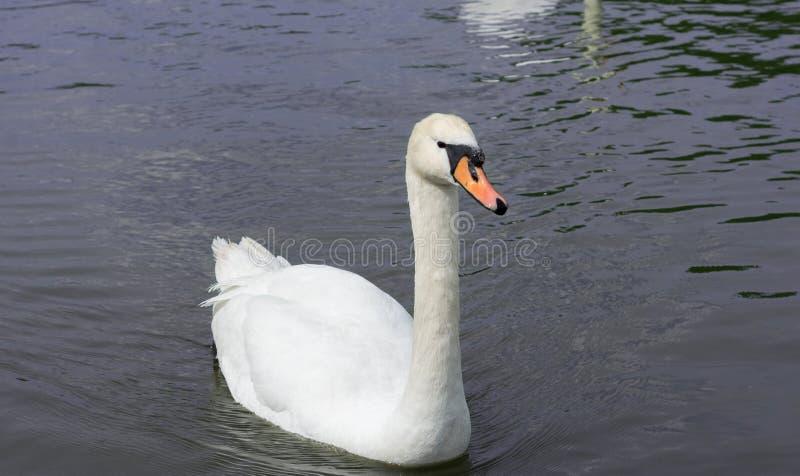 Witte zwanen op het meer royalty-vrije stock foto