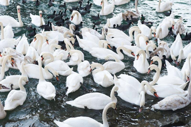 Witte zwanen op het water stock fotografie