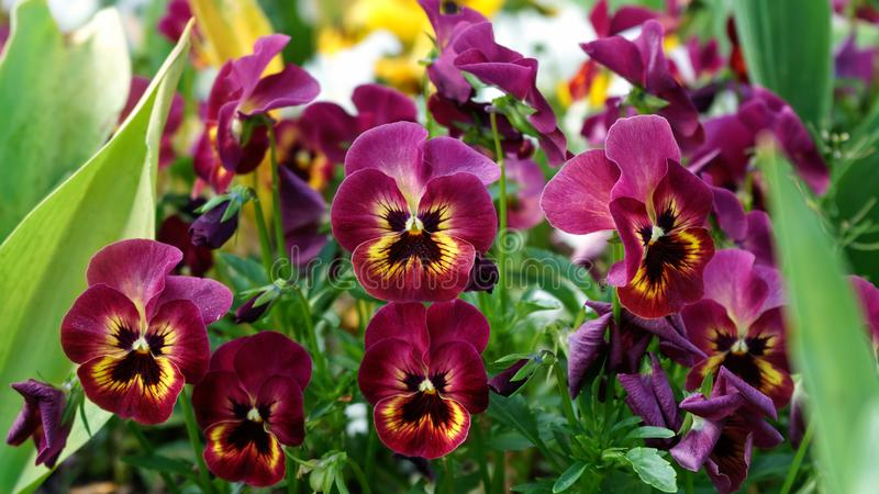 Wittrockiana d'alto, jardin de fleurs de pensée au printemps photos stock
