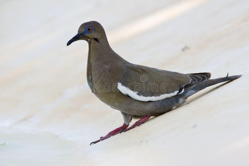 Witvleugeltreurduif, который Бело-подогнали голубь, Zenaida asiatica стоковые фотографии rf