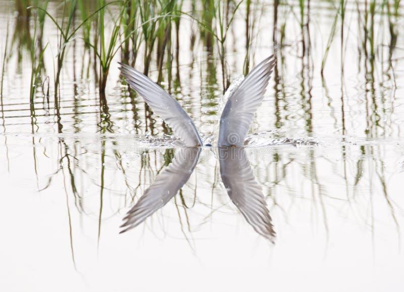 Witwangstern; Wąsaty Tern; Chlidonias hybrida fotografia stock