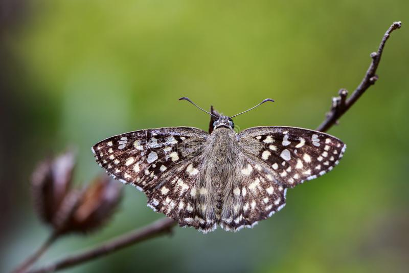 Wizerunek Łaciastego kąta Caprona agama motyli agama zdjęcia stock