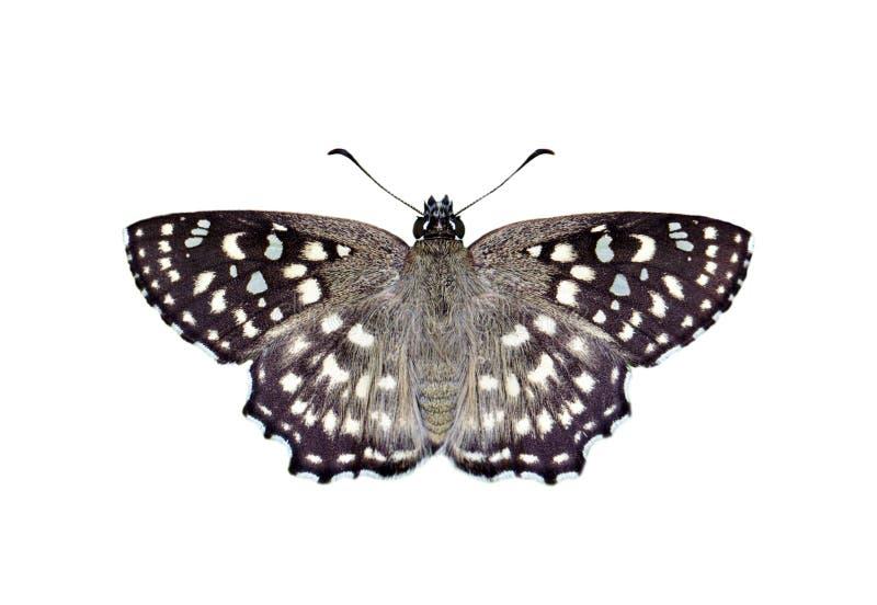 Wizerunek Łaciastego kąta Caprona Motyli agama odizolowywający na białym tle insekt zwierz?ta obrazy royalty free
