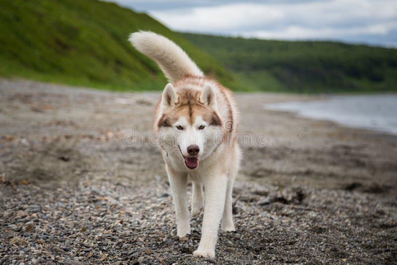 Wizerunek śliczny beżu i białego Syberyjskiego husky psa bieg na plaży przy nadmorski zdjęcie royalty free