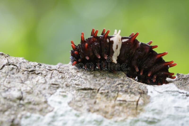 Wizerunek błonie różana gąsienica fotografia stock